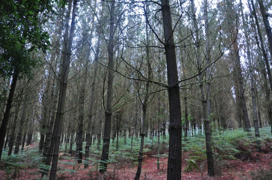 Galician forest (A Coruña).